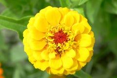 Zinnia amarelo Fotos de Stock