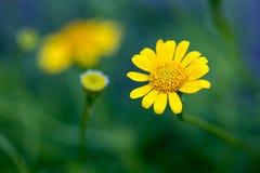 Zinnia amarelo fotografia de stock
