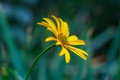 Zinnia amarelo Imagens de Stock