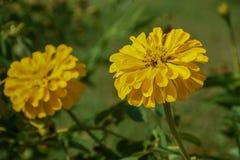 Zinnia amarillo Imagen de archivo