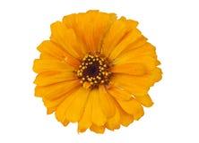 Zinnia amarillo aislado Foto de archivo