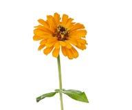 Zinnia amarillo aislado Fotos de archivo libres de regalías