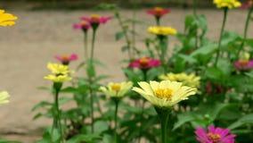 Zinnia amarillo del narrowleaf en el jardín almacen de metraje de vídeo