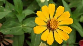Zinnia amarillo del narrowleaf en el jardín almacen de video