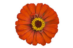 Zinnia anaranjado Foto de archivo