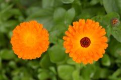 Zinnia anaranjado fotos de archivo libres de regalías
