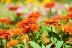 Zinnia anaranjado Fotografía de archivo