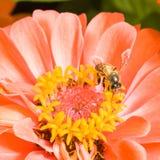 Zinnia anaranjado con la abeja Imágenes de archivo libres de regalías