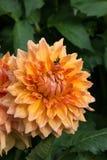 Zinnia anaranjado con la abeja Imagenes de archivo