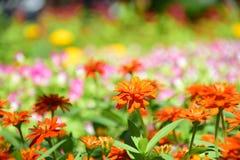 Zinnia anaranjado en el jardín rosado Foto de archivo libre de regalías
