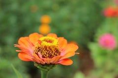 Zinnia anaranjado en la luz del sol Fotografía de archivo
