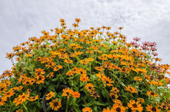 Zinnia angustifolia flowers Royalty Free Stock Photo