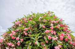 Zinnia angustifolia flowers Royalty Free Stock Photography