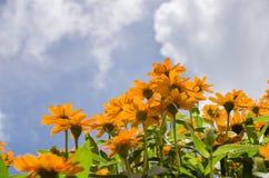 Zinnia angustifolia flowers Stock Images