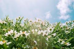 Zinnia angustifolia flowers Stock Photo