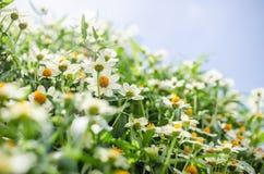 Zinnia angustifolia flowers Stock Image