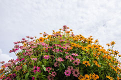 Zinnia angustifolia flowers Royalty Free Stock Photography