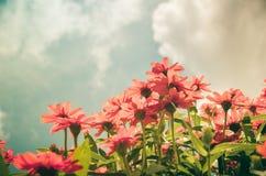 Zinnia angustifolia flowers vintage Stock Photos