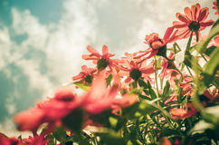 Zinnia angustifolia flowers vintage Royalty Free Stock Photos