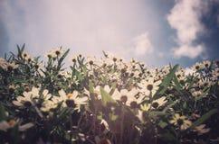 Zinnia angustifolia flowers vintage Royalty Free Stock Photography