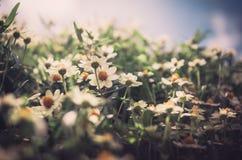 Zinnia angustifolia flowers vintage Stock Photography