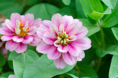 Zinnia angustifolia Kunth Royalty Free Stock Image