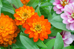 Zinnia angustifolia Kunth Stock Photo