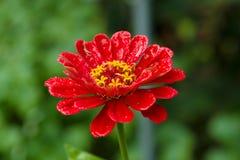 Zinnia angustifolia after rain Royalty Free Stock Photos