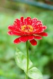 Zinnia angustifolia after rain Royalty Free Stock Photo