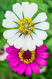 Zinnia angustifolia flowers Royalty Free Stock Images