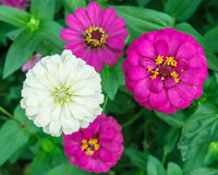 Zinnia angustifolia flowers Stock Images