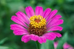 Zinnia angustifolia flowers Stock Photos