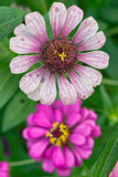Zinnia angustifolia flowers Royalty Free Stock Image