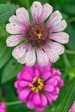 Zinnia angustifolia flowers Royalty Free Stock Image
