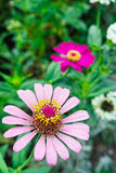 Zinnia angustifolia plant Stock Photos