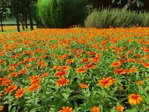 Zinnia anguvstifolia , blossom garden , Zinnia garden. Zinnia anguvstifolia ,blossom garden , Zinnia garden Royalty Free Stock Photo