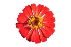 Zinnia arancio sbocciante isolata su fondo bianco Fotografie Stock Libere da Diritti