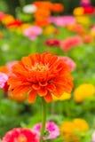 Zinnia arancione Fotografia Stock