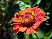 Zinnia. Art photos for home decor. Fit for being printed and put on the wall Stock Photography