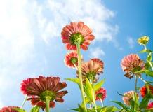 Zinnia Autumn Flowers. Flowers Over Blue Sky. Zinnia flower. Autumn Flowers stock photos