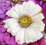 Zinnia Beauty Stock Images