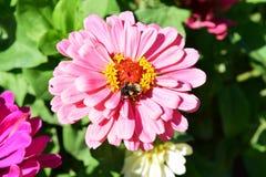 Zinnia and bee Stock Photo
