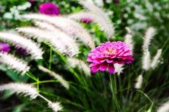 Zinnia in Bloom stock photos