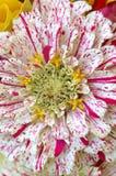 Zinnia Blossom Στοκ Εικόνα