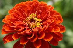 Zinnia, Blossom, Bloom, Flower Royalty Free Stock Image