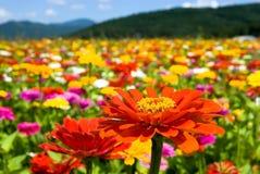 Zinnia-Blumen Lizenzfreie Stockfotos