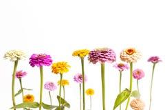 Zinnia-Blumen-Hintergrund-Grenze Lizenzfreie Stockbilder