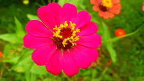 Zinnia, Blumen, Zinniablumen Stockfotografie
