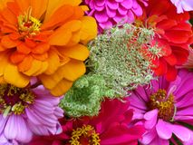 Zinnia Bouquet. CLose-up of colorful Zinnia bouquet Stock Images