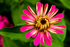 Zinnia buds and flowers Royalty Free Stock Images